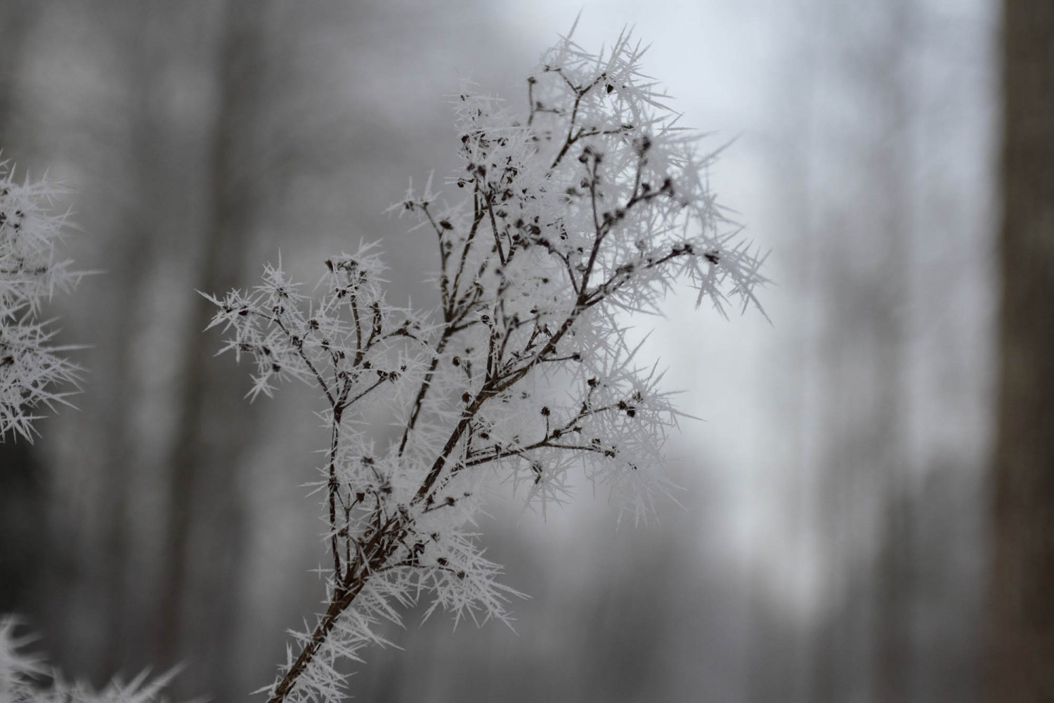 Frost_39